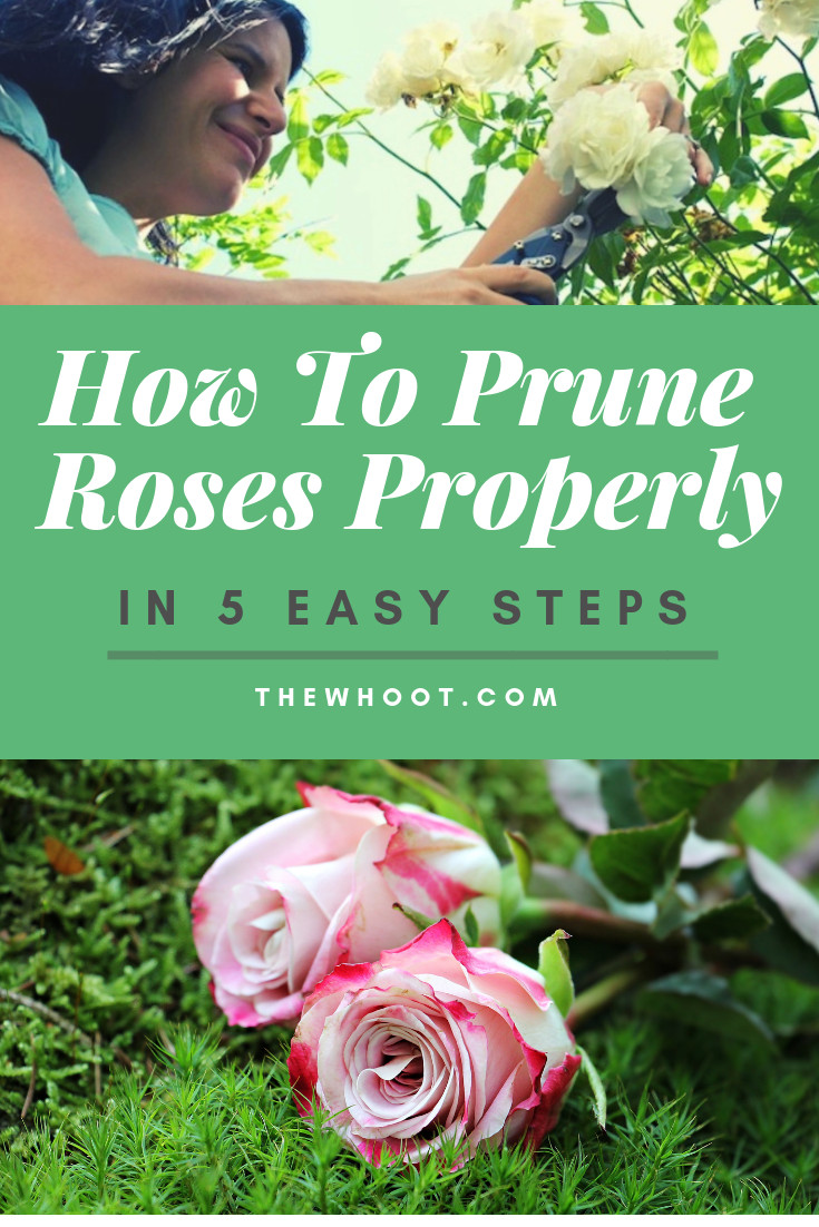 How To Prune Roses Properly Video The Whoot When To Prune Roses Pruning Roses Prune