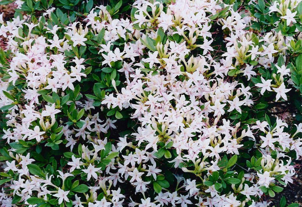 Rarborescensg 1031708 sweet azalea landscaping project rarborescensg 1031708 sweet azalea white flowering shrubsshade mightylinksfo