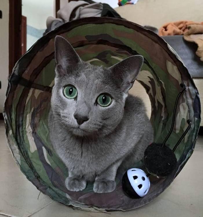 Gorgeous Green Eyes Looking Beguiling Russian Blue Kitten