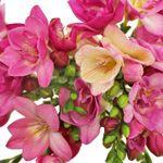 Dark Pink Freesia Flower