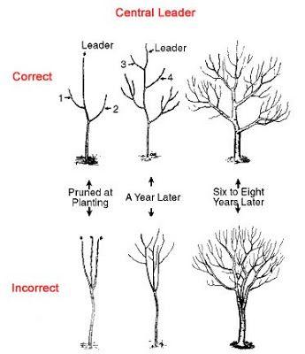 Examples Of Both Pruned At Planting And Unpruned Trees Of The Unpruned Tree The Dense Foliage Reduces The Sunl Pruning Fruit Trees Garden Trees Fruit Garden
