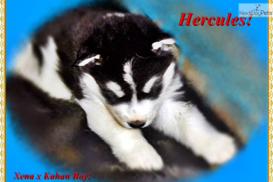 Alaskan Malamute Puppy For Sale Near Utica Rome Oneida New York