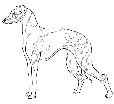 Italian Greyhound Coloring Page Dog Art Dog Coloring Page