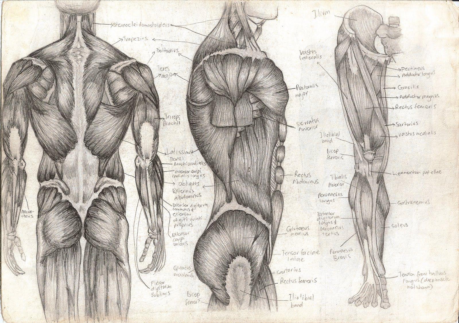 Pin von Michael Amendolara auf anatomy | Pinterest