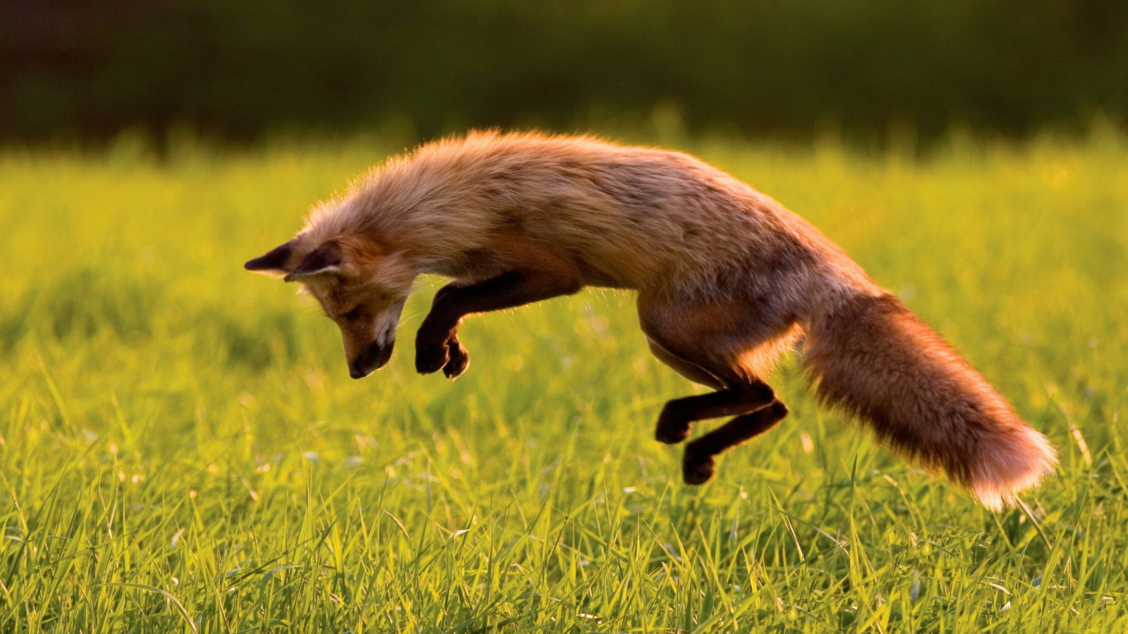 Download Jumping Fox Wallpaper Free Wallpapers Jumping fox