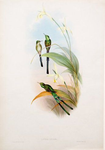 Lesbia Gouldi (Bogota Trainbearer), Lithography, John Gould (1804-1881) ($950)
