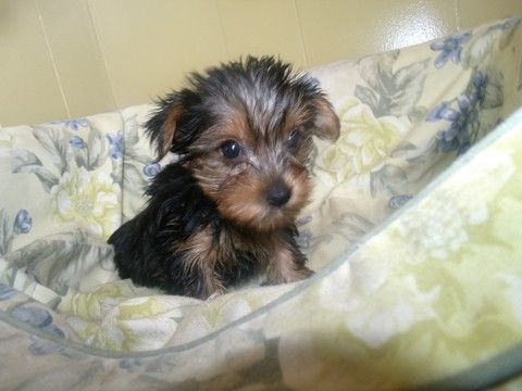 Yorkshire Terrier Puppy For Sale In Paterson Nj Adn 65297 On