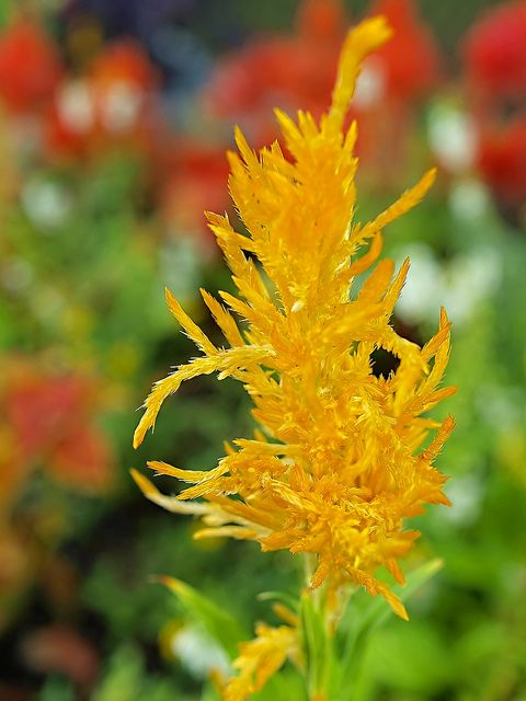 Yellow Astilbe Shade Perennials Astilbe Woodland Garden