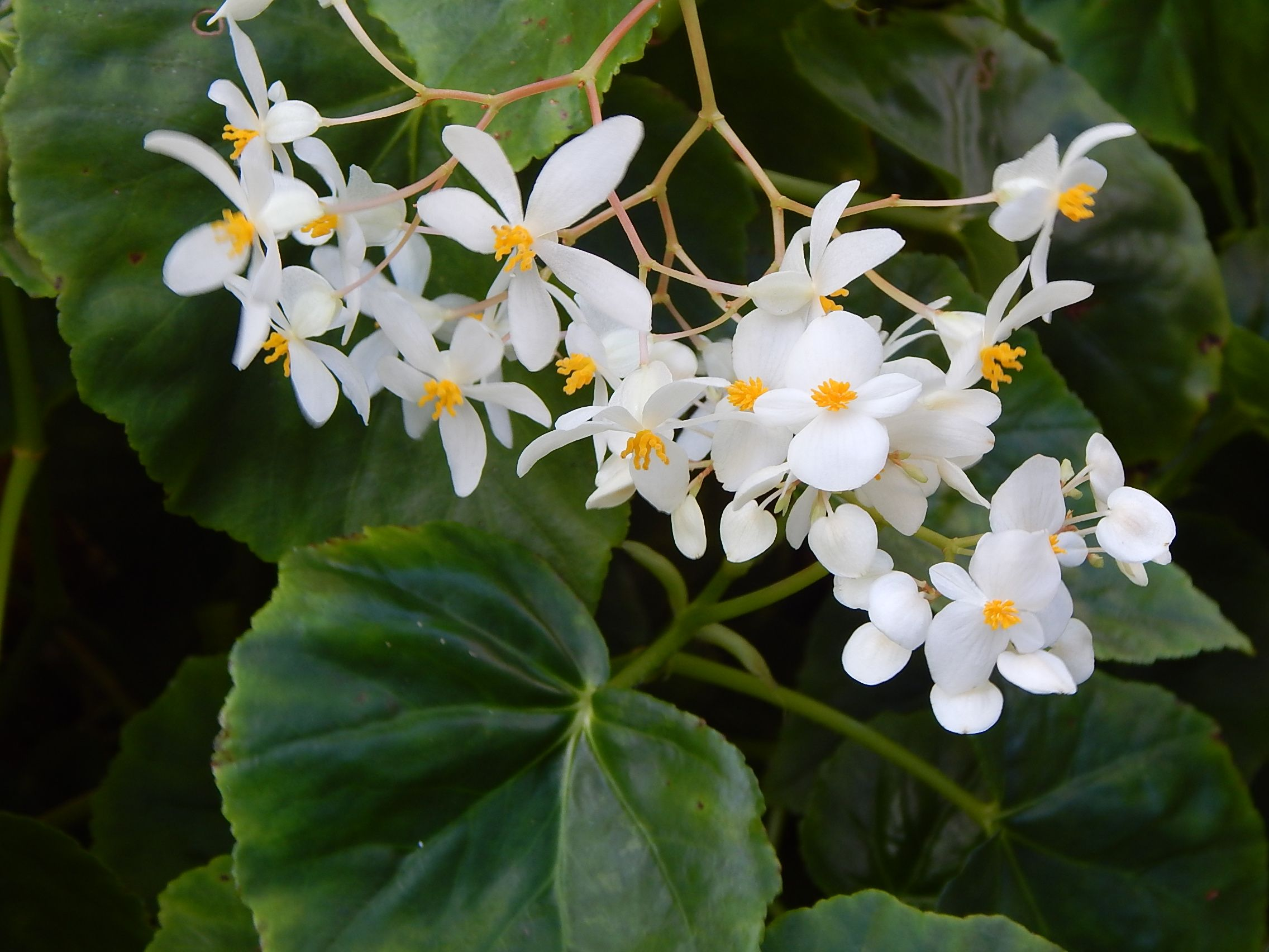 Begonia With Small White Flowers Tropical Plants Small White Flowers Beautiful Flowers