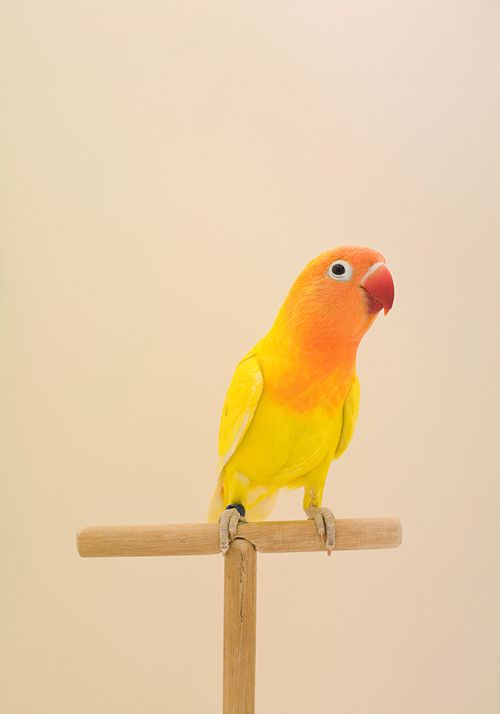 Lovebird 5 Happy Mundane Jonathan Lo Pet Birds Cute Birds