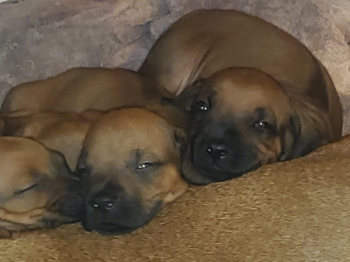 B2 AKC Rhodesian Ridgeback puppies in Phelan, California