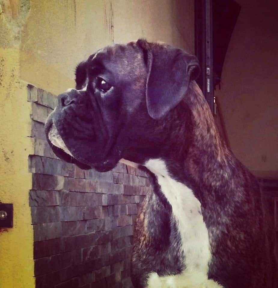 Pin Van Els And Boxer Cash Op Boxer Dogs So Nice Met Afbeeldingen