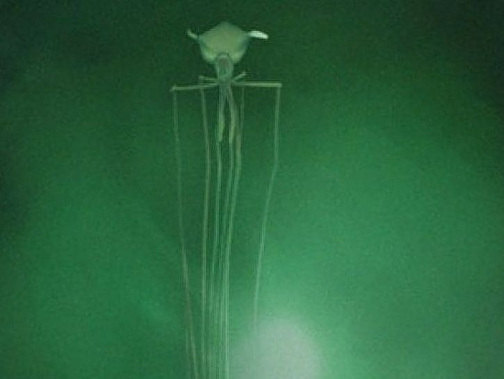 The bigfin squid at the bottom of the ocean creatures the bigfin squid at the bottom of the ocean publicscrutiny Images