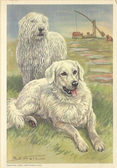 Komondor en Kuvasz door Scholz 1960 kleur door OLDBOOKSMAPSPRINTS