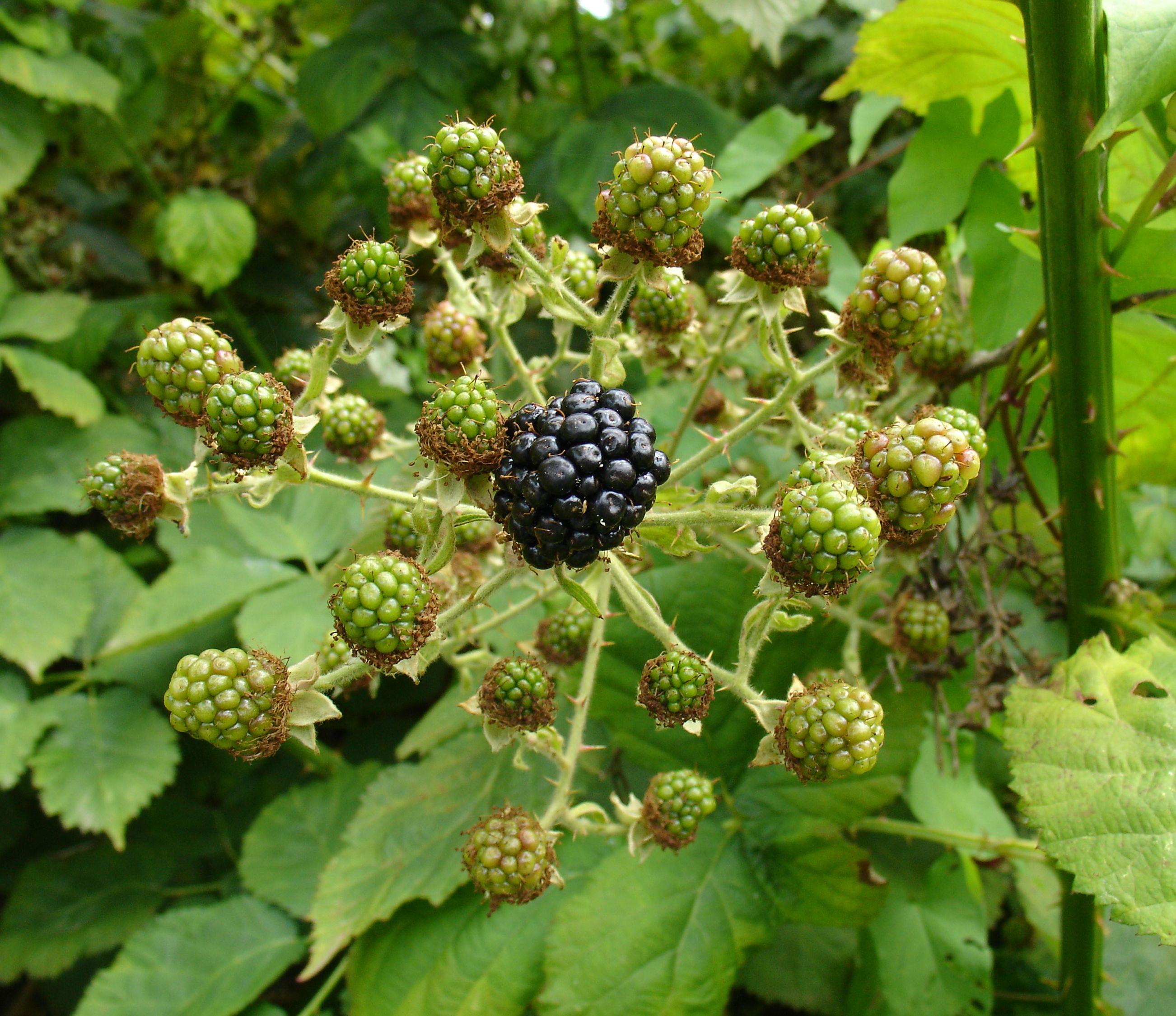 Pruning Blackberries Growing Blackberries Successfully at