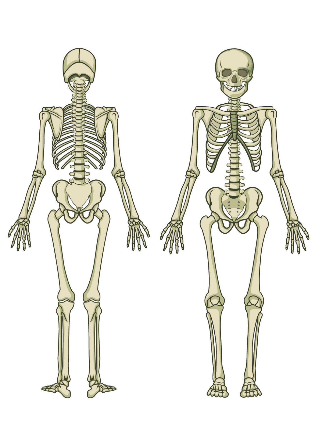 Human Skeleton Bones Human Skeleton Human Skeleton Bones Human Skeletal System
