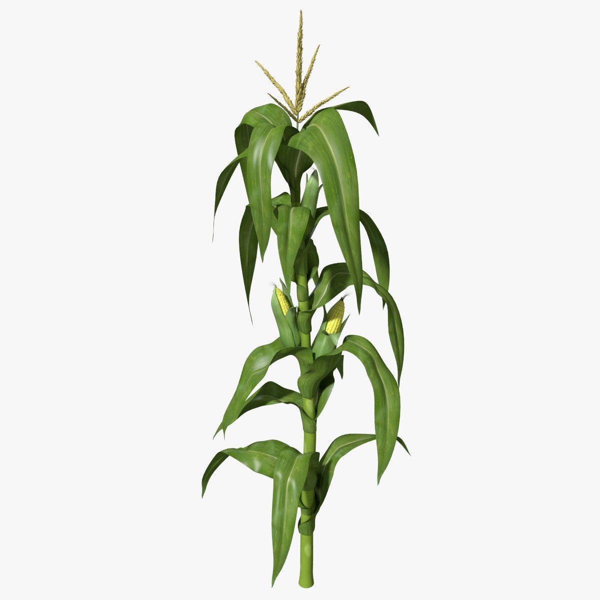 Corn Stalk Max Corn Plant Corn Stalks Plants