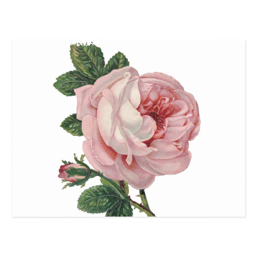 Vintage Pink Rose Flowers Love Miss You Hello Postcard Zazzle Com In 2021 Flower Drawing Pink Rose Png Flower Illustration