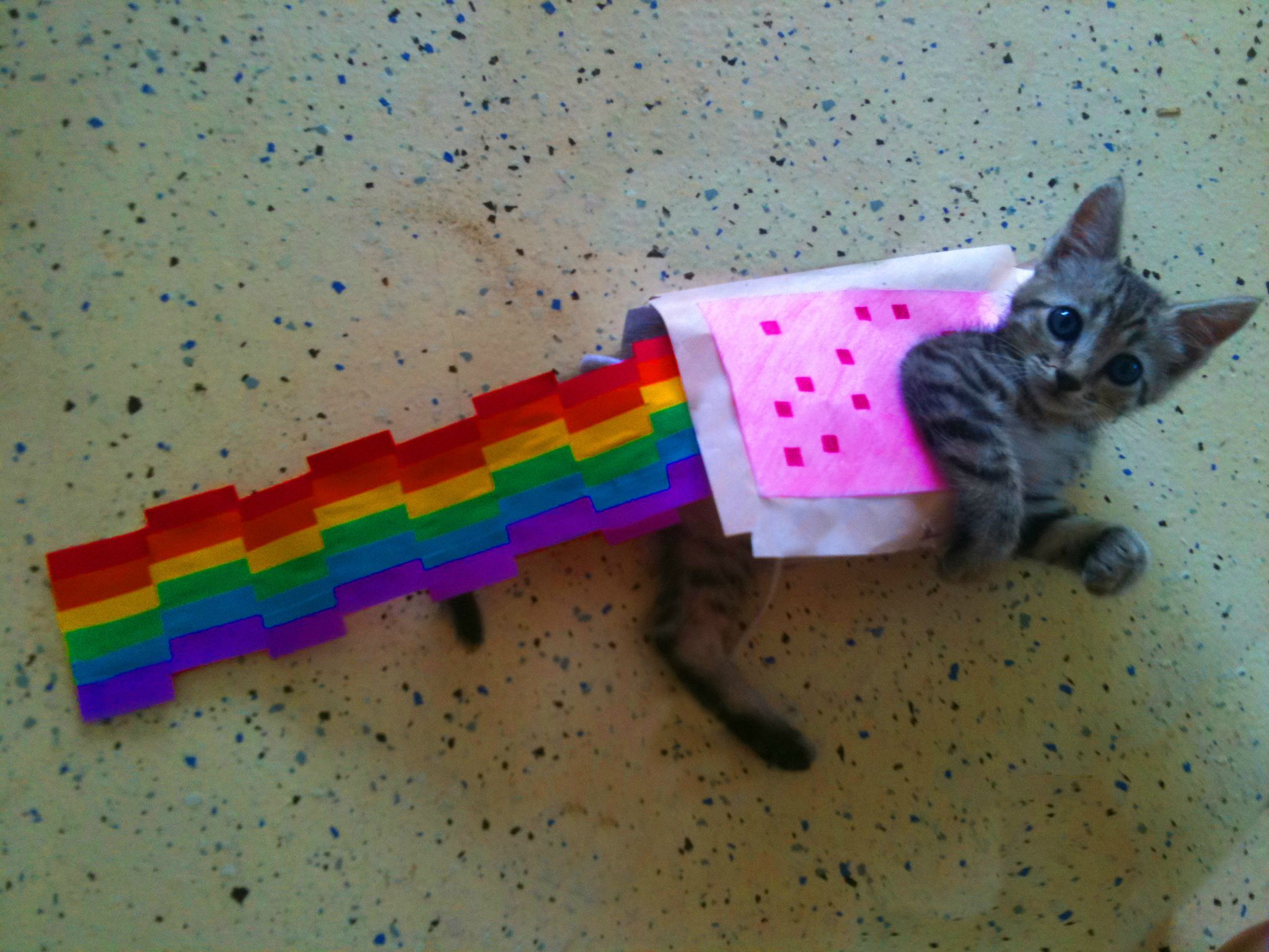 Made My Kitten A New Outfit This Morning Nyan Cat Nyan Cat Costume Cat Life