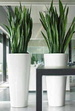 Potten Voor Planten.Hoge Witte Potten Met Sanseveria Interieur Pinterest Potten