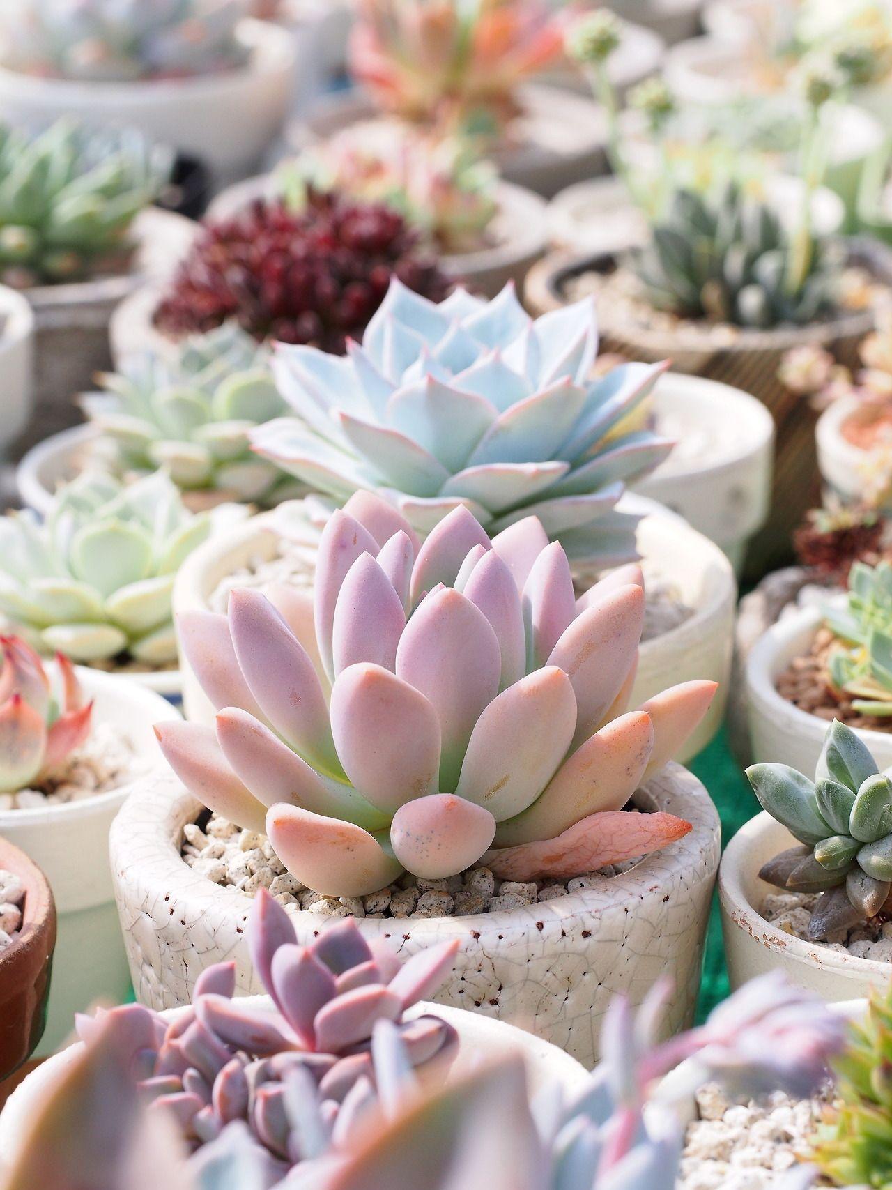 """markunsan """"Graptoveria cv opalina """" #plantingsucculents"""