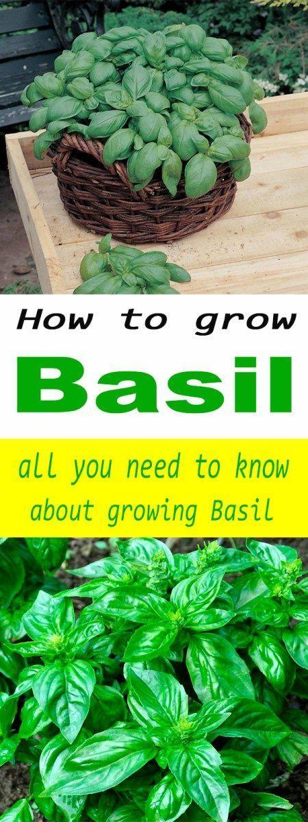 How To Grow Basil Indoor Vegetable Gardening Growing 400 x 300
