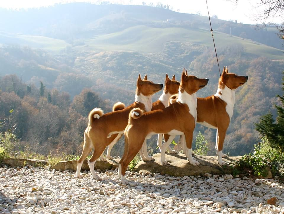 Basenji Pack by Henriette Varga | Perros, Animales