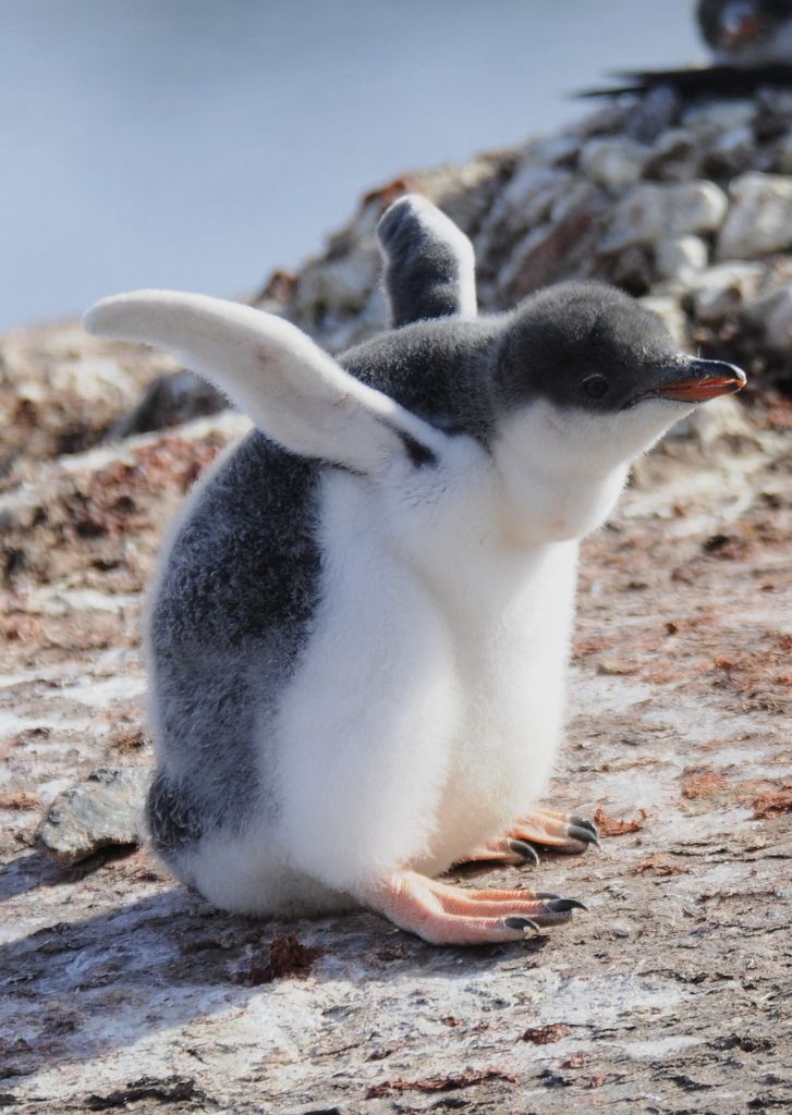 Gentoo Penguin - Pygoscelis papua   Cute animals, Penguins ...