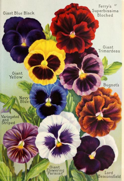 Pansies From Seed Annual 1922 D M Ferry Co Detroit Mich Http Archive Org Stream Seedannual19221922dmfe Page Pansies Flowers Pansies Flower Painting