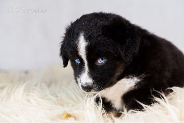 Lyse Mini Aussies Wetterau Niedliche Welpen Welpen Und Hunde