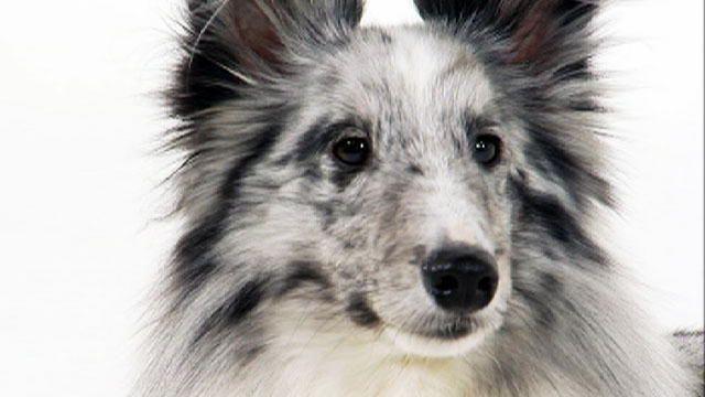 Dog Breeds L Z Dogs 101 Animal Planet Sheltie Shetland