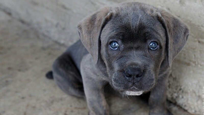 Pin By Ilcia Variste On Goliath Cane Corso Puppies Cane Corso Cane Corso Dog