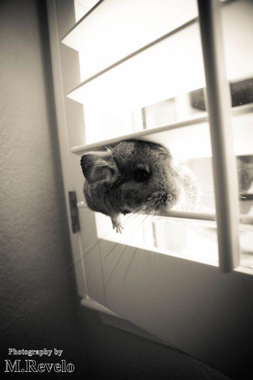 One of Stickshift the Chinzilla (chinchilla) favorite pastimes is chinchillin' on the window blinds.