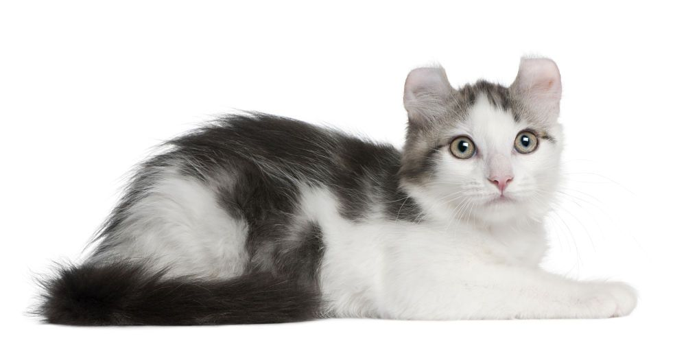 The American Curl Cat American Curl White Cat Breeds American