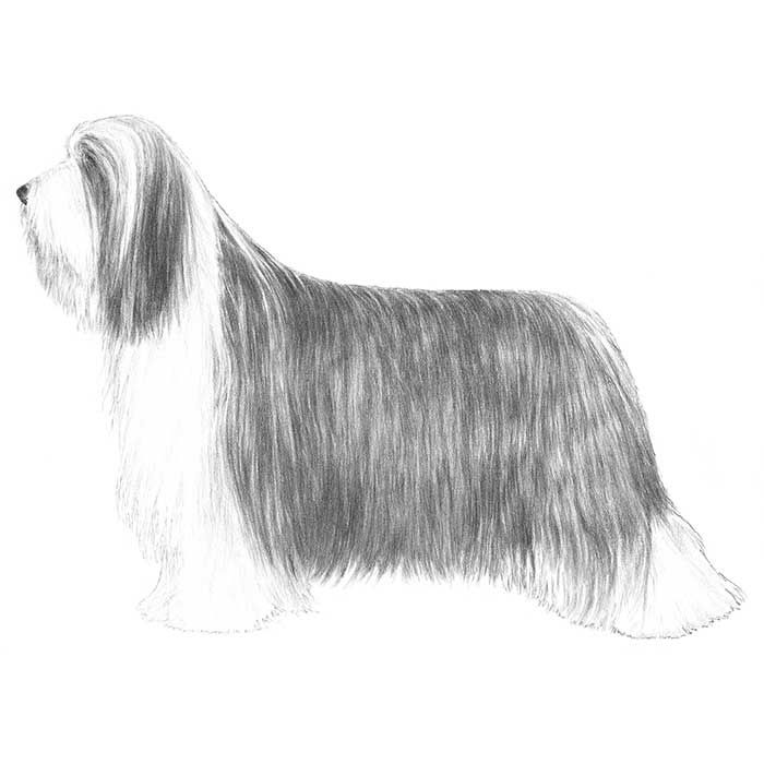 Bearded Collie Dog Breed Information Bearded Collie Akc Dog