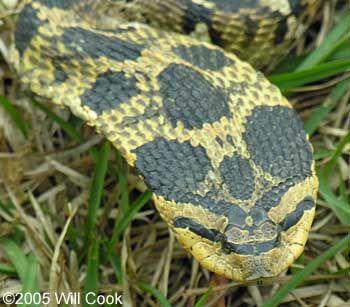 Eastern Hognose Snake Heterodon Platirhinos Hognose Snake Snake Western Hognose Snake