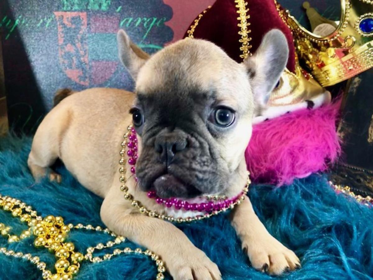 French Bulldog Female Ari Ready Now Royalcrownfrenchies Com