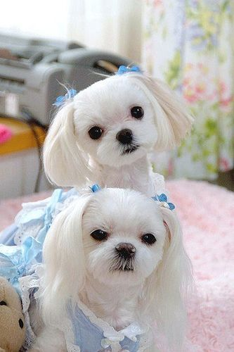 Maltese Siblings Maltese Dogs Maltese Haircut Maltese Puppy