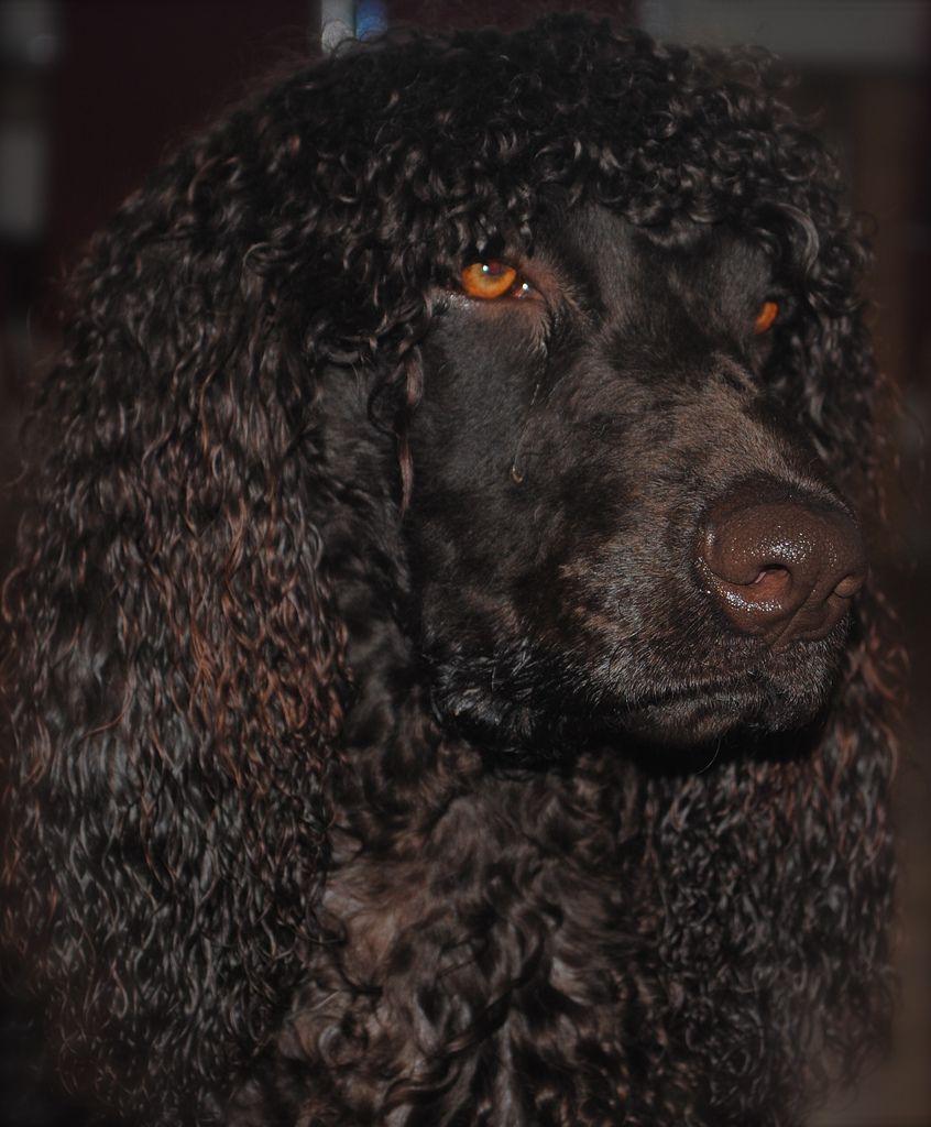 DSC_0147 in 2021 | Irish water spaniel, Spaniel, Dogs