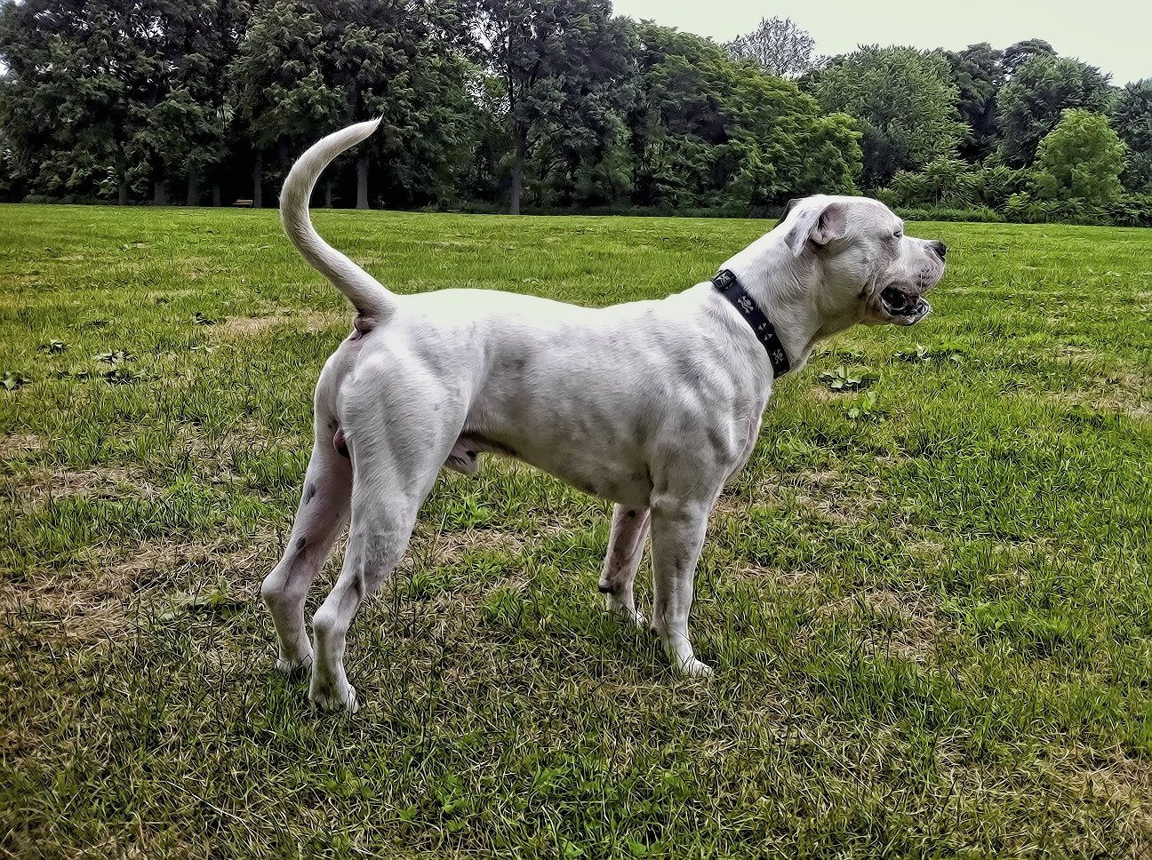 Ripped American Bulldog American Bulldog Bulldog Breeds Domestic Dog