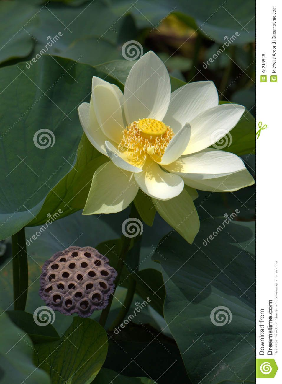 Lotus flower fully open in afternoon light book covers lotus flower fully open in afternoon light izmirmasajfo