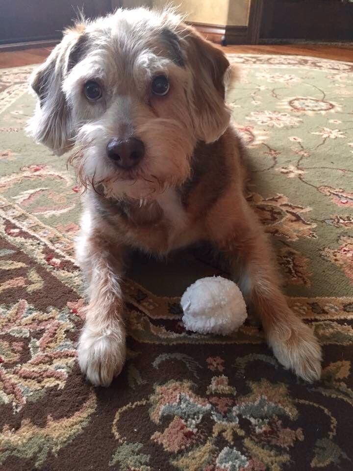 Schnauzer Beagle Schneagle Puppies Dogs Scruffy Dogs