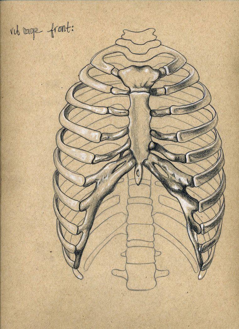 Rib Cage Drawing Art : drawing, Cage., Skeleton, Drawings,, Human, Anatomy