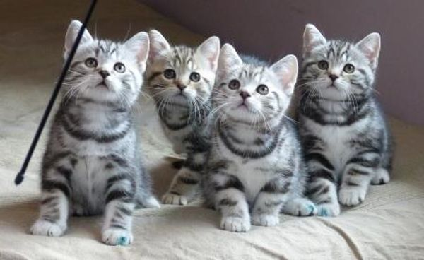 40 Pictures Of Cute Silver Tabby Kittens Tail And Fur Silver Tabby Cat Silver Tabby Kitten Tabby Kittens For Sale