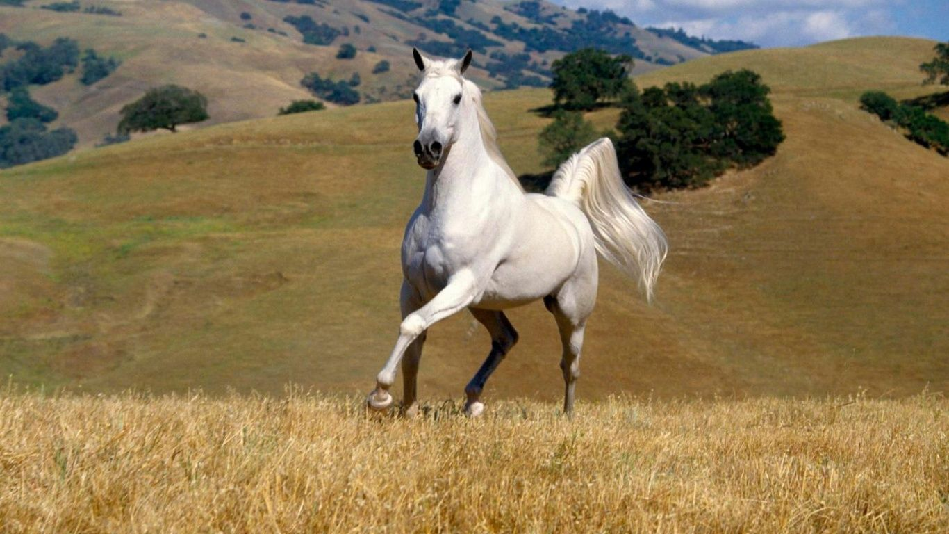 Animals Horse 1366 768 Wallpaper Horses Horse Wallpaper Beautiful Horses