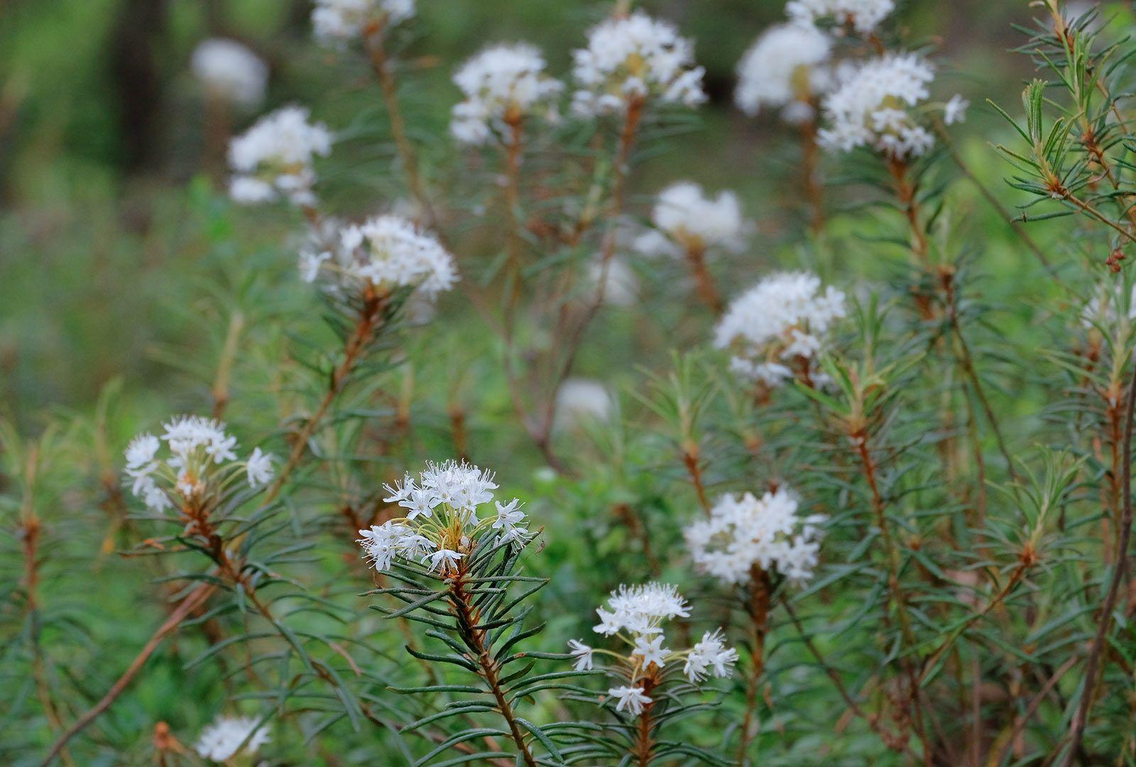 Bagno Zwyczajne Rhododendron Tomentosum Ledum Palustre Rhododendron