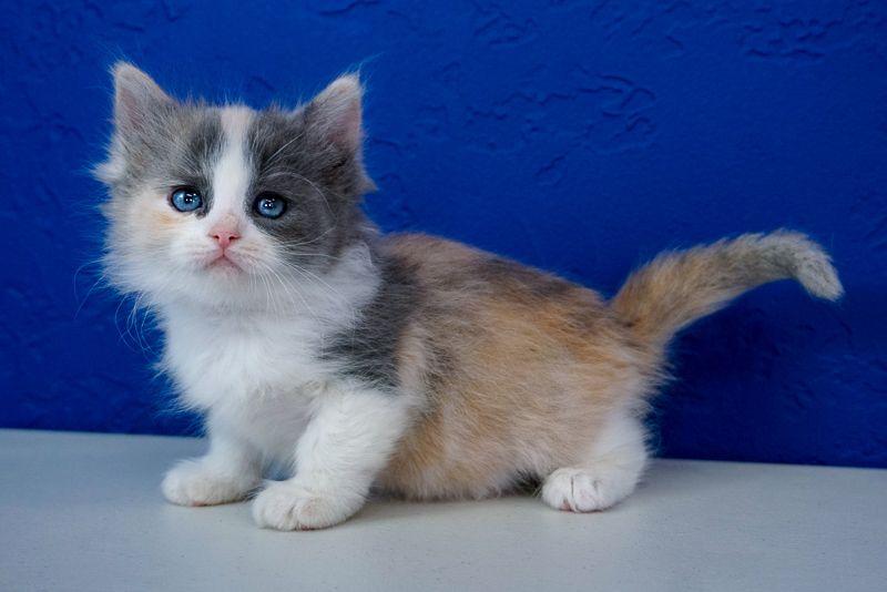 Kitten Ragdoll Kittens For Sale Kittens Ragdoll Kitten