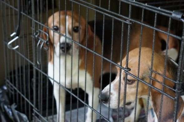 Beagles Rescued From Lab Play Outside For First Time Ever Beagle