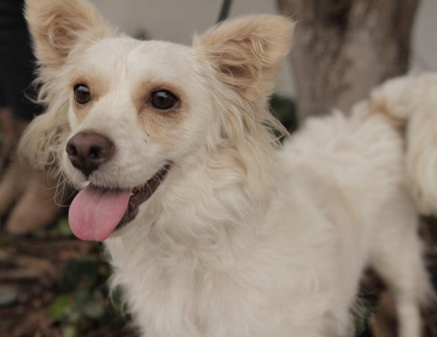 Adopt Minchu On Corgi Mix Dog Insurance Dogs