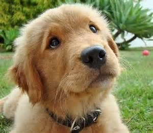 Golden Retriever, cachorro hermoso